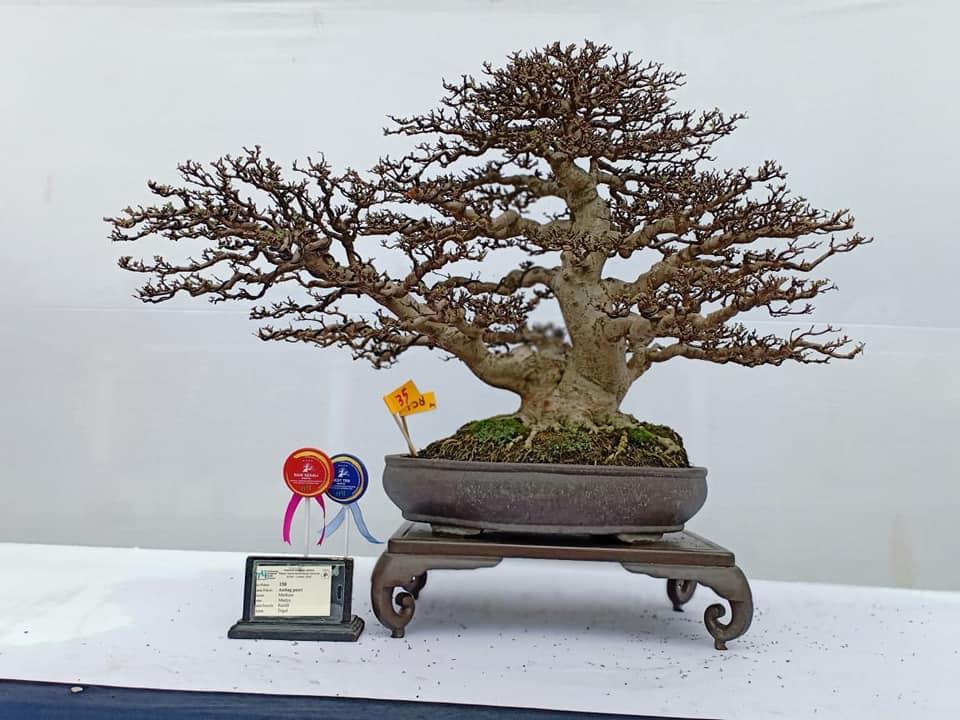 Membuat cabang pada tanaman bonsai